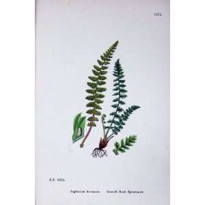 Smooth Rock Spleenwort Botany Plants C1902 Asplenium